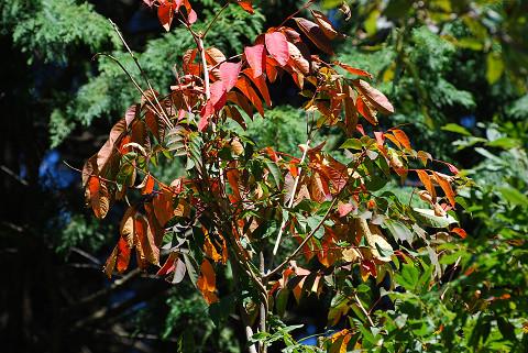 ヌルデの紅葉が始まった