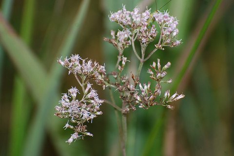 サワヒヨドリの花は