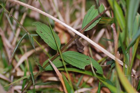 サワヒヨドリの対生の葉