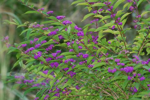ムラサキシキブに紫色の実がいっぱい
