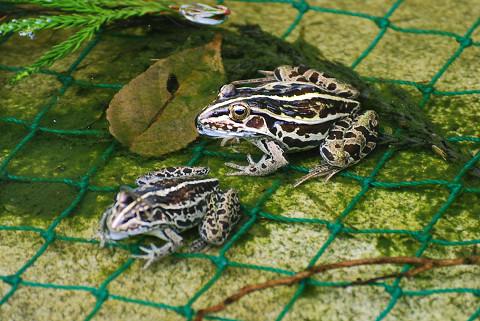 池のトノサマガエル二匹