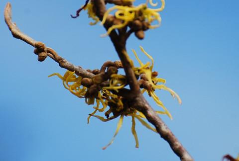 季節外れのマンサクの開花