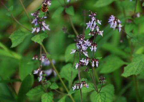 この淡紫色の花は?