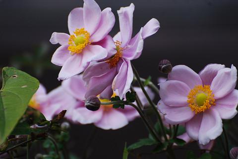 このピンクの花は?