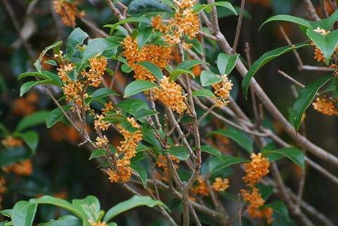 芳香のキンモクセイの花が