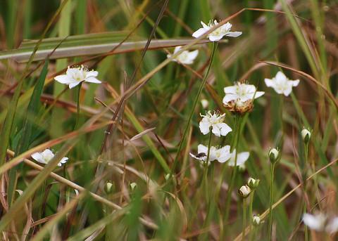 長ノ山湿原のウメバチソウ
