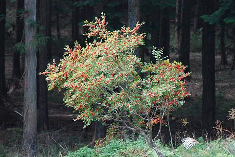 ウメモドキ木全体が赤い
