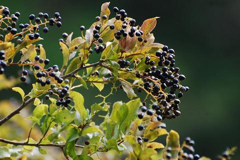 クロミノニシゴリの黒い実