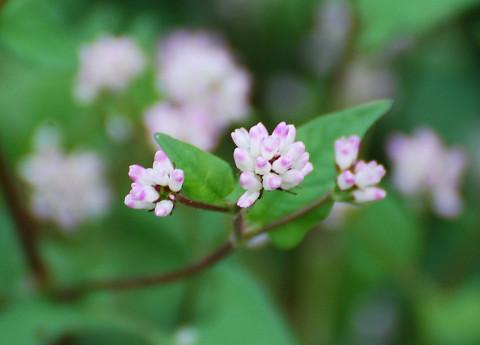 ミゾソバの花が