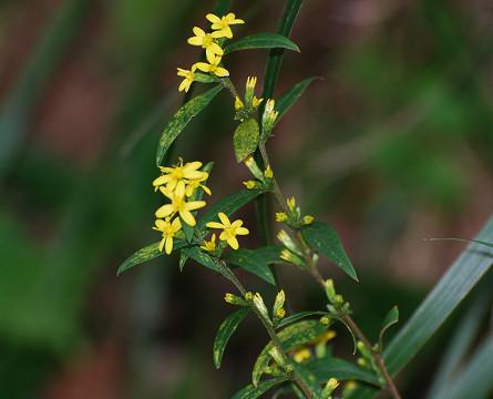 アキノキリンソウの黄色い花が (2)