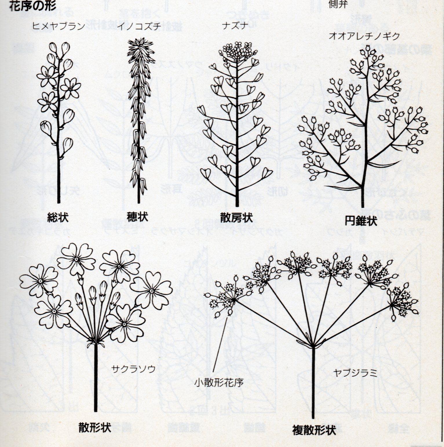 花序の形010