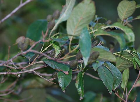 ハンノキの雌花序