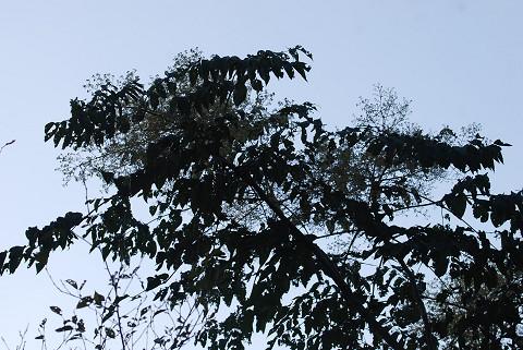 カラスザンショウの大きな花序