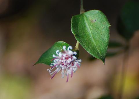 コウヤボウキの花と葉