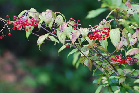 コバノガマズミの赤い実