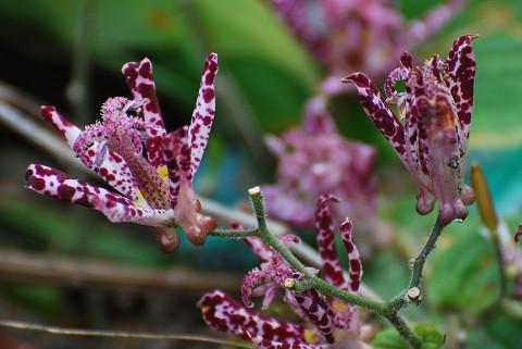 庭のホトトギスの花が