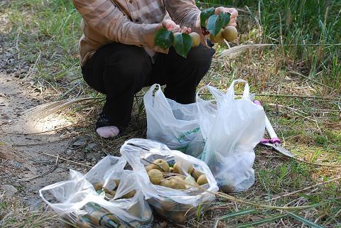 ヤマナシの収穫1