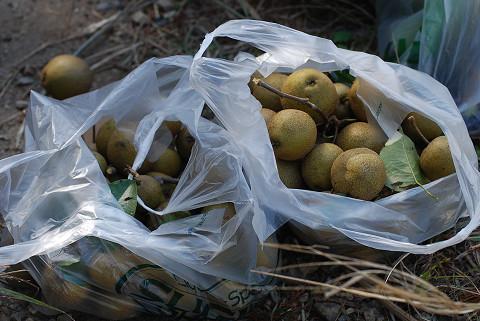 ヤマナシの収穫2
