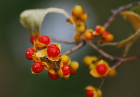 ツルウメモドキの赤い種