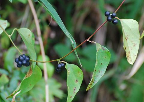 アオツブラフジの紫黒色の実