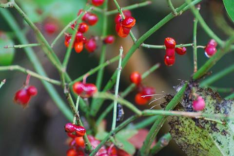 サワダツの赤い実2