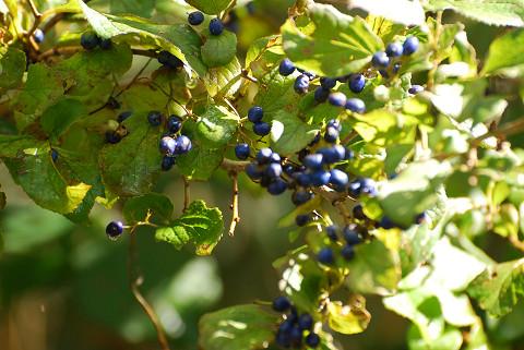 サワフタギの青い実がきれい