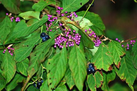 ムラサキと紫黒色の実が