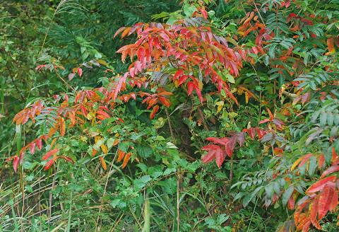 ヌルデの紅葉がきれい