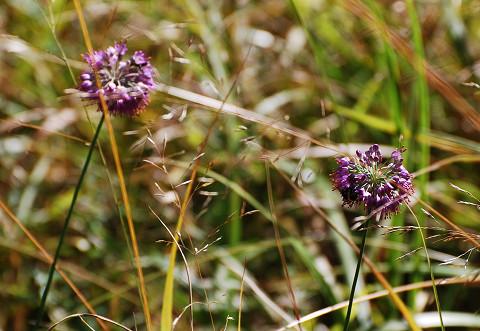 ヤマラッキョウの花緑