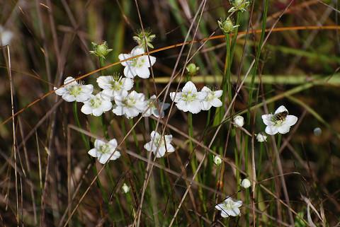 ウメバチソウの白い花が