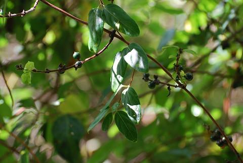 スイカズラに緑色の実が