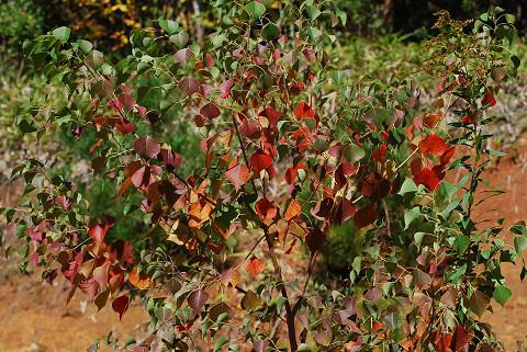 ナンキンハゼの紅葉が