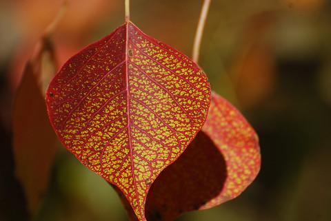 ナンキンハゼの葉が美しい