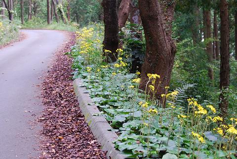 沿道にツワブキの花