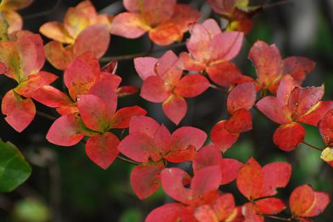 ドウダンツツッジの紅葉が