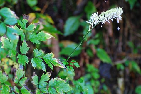 サラシナの葉が