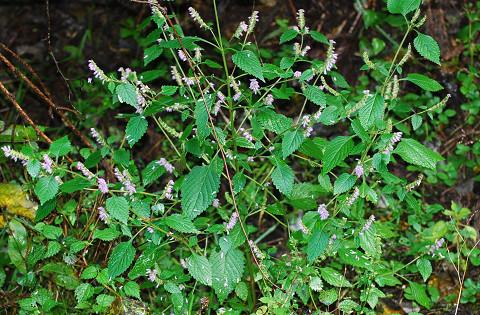 ナギナタコウジュの花がいっぱい