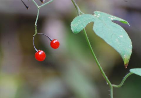 ヒヨドリジョウゴの赤い実が