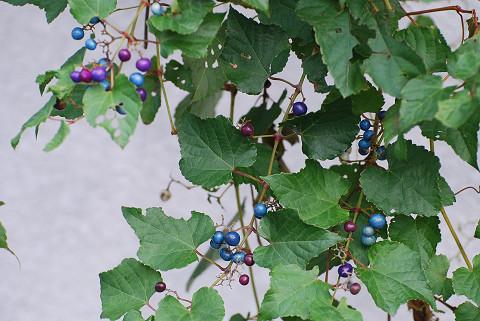 ノブドウの実が美しい