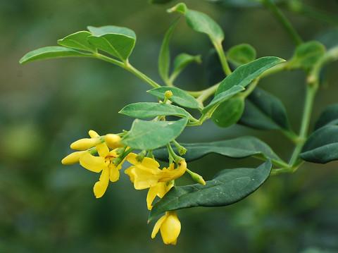 この黄色い花は?