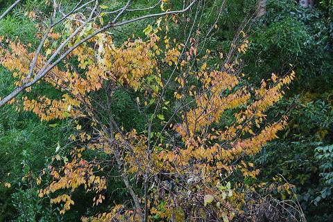 庭のアカシデ紅葉1