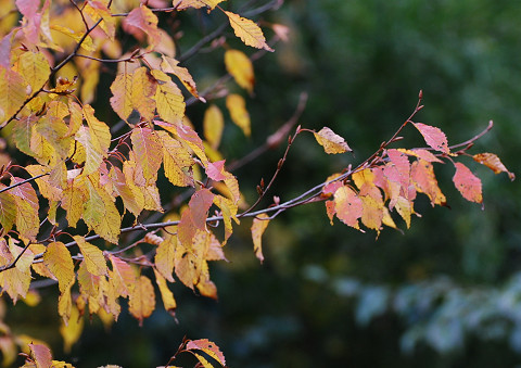 庭のアカシデ紅葉2