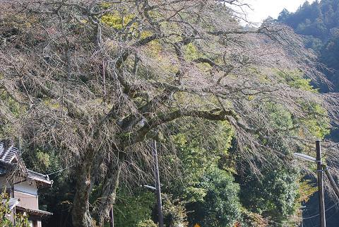 エドヒガンが大きく枝を