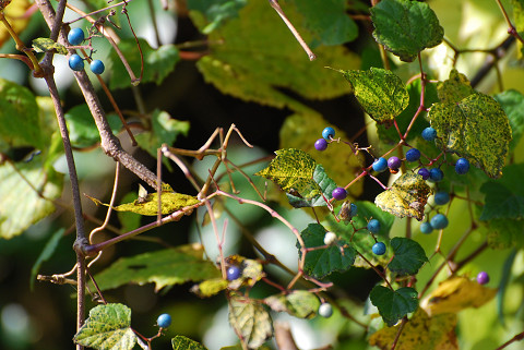 ノブドウの実が美しい (2)