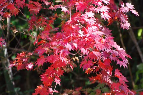 コハウチワカエデの紅葉が