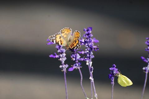 ハーブの花にアカタテハが
