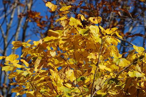 ダンコウバイの黄色の葉