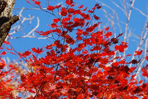 コハウチワカエデの紅葉が2