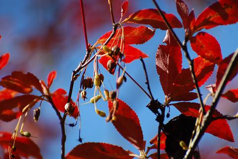 ドウダンツツジの紅葉と実