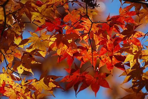 オオモミジの紅葉がきれい